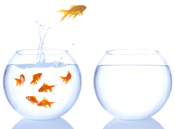 different color goldfish jumping